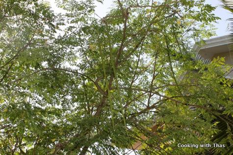 drumstick tree copy