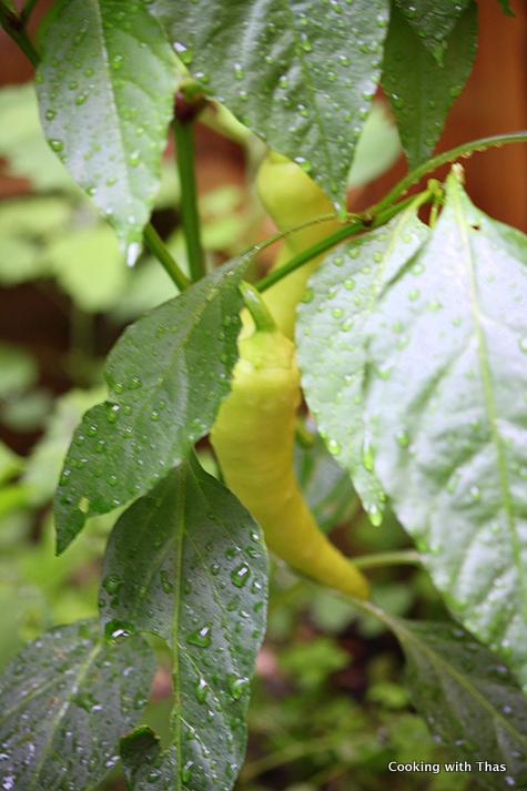 homegrown banana-peppers
